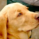Golden Retreiver Portrait by Lee LaFontaine