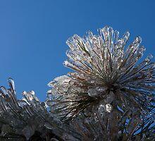 Toronto Ice Storm 2013 - Pine Needle Flower by Georgia Mizuleva