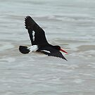 Pied Oystercatcher over the Ocean by Jane McDougall