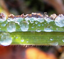Orange, icy  waterdrops on a grass by fotosbykarin