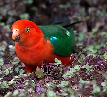 King Parrot by GayeLaunder Photography