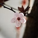 Plum blossoms by Bee Williamson