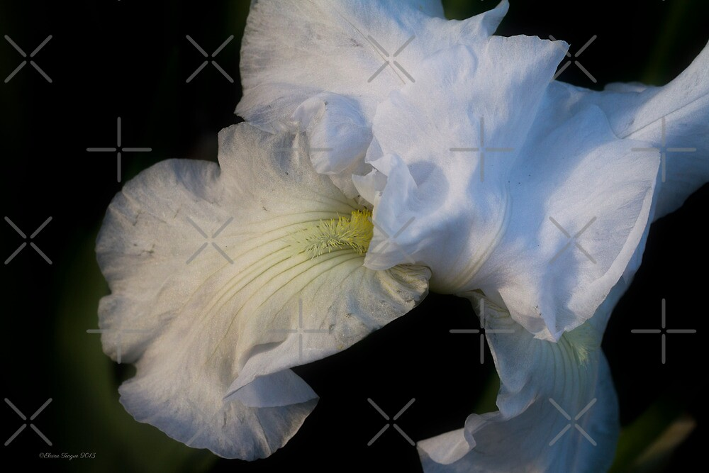 White Iris #7 by Elaine Teague