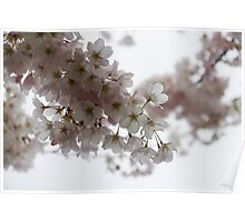 Clouds of Soft Pink Blossoms - a Tribute to Spring Poster