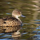 Grey Teal by Rick Playle