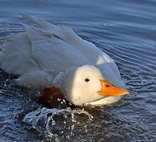 Bubbly Duck At Ferne, Somerset. UK by lynn carter
