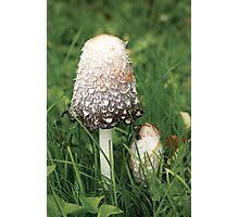 Shaggy Ink Cap (Coprinus comatus) Photographic Print