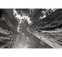 Redwood sequoia bark perspective - giant tree - black and white film - I giganti gemelli Photographic Print