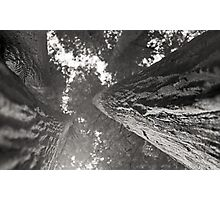 Redwood sequoia bark perspective - giant tree - black and white film - I giganti gemelli Photographic Print