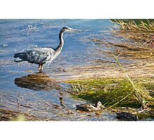 Naturalistic photo heron and ducks swamp birds color wall art - Nella Palude Photographic Print