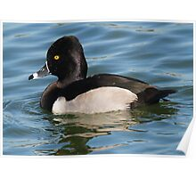 Ringed Necked Duck Poster