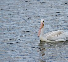 Young Pelican by Thomas Young