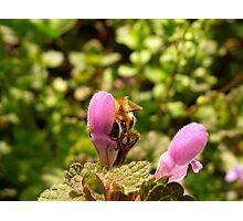 Bee gathering Photographic Print
