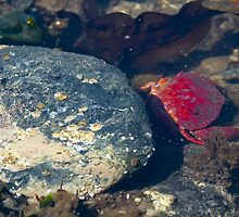 Crab close up with rock photography crustacean tide pool wildlife photography color wall art fine art - Rosso by visionitaliane
