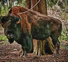 Bull buffalo under a cedar trees nature wildlife of America bison wall art color - Old as the land by visionitaliane