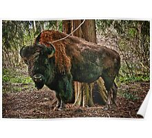 Bull buffalo under a cedar trees nature wildlife of America bison wall art color - Old as the land Poster
