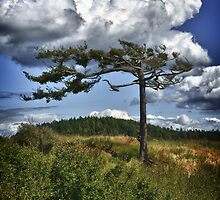 Lonely tree shaped by wind on Puget Sound nature photo art - Testimone del Tempo by visionitaliane