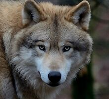 European wolve - III by Peter Wiggerman