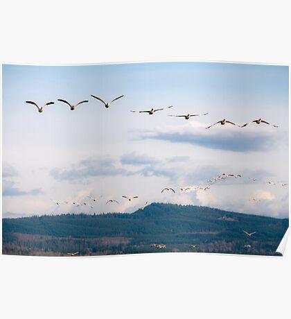 Naturalistic bird migratory snow geese in flight - I Viaggiatori Poster