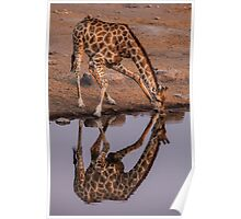 Giraffe at the Watering Hole Poster