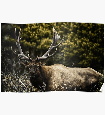 Male Elk in the wild animal naturalistic - Memoria di un Re Poster