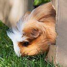 Cute guinea pig by Martyn Franklin