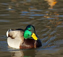 Posing For Me, Male Mallard  by NatureGreeting Cards ©ccwri