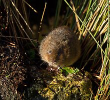 Water Vole on Rock by Sue Robinson