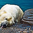 polar BEAR...................................................Endangered by Sassafras