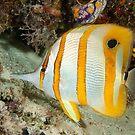 Beaked Coralfish, Kapalai, Sabah, Malaysia by Erik Schlogl