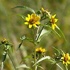 Narrow-leafed Sunflower by Kathi Arnell