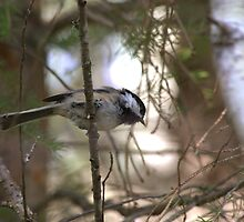Watchful Chickadee by Kathi Arnell