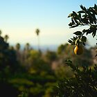Orange Grove by judsonphoto