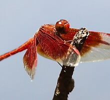 Litchfield park dragonfly by BeninFreo