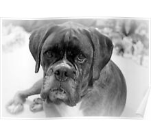 Contemplating My New Years Resolution ~ Boxer Dog Series Poster