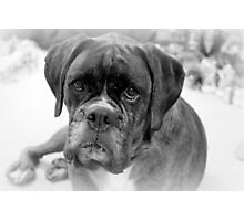 Contemplating My New Years Resolution ~ Boxer Dog Series Photographic Print