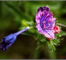 Weed Flower Macro at a Walking Track around Lake Ginninderra by Wolf Sverak
