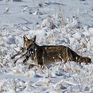 Coyote On Snow With Rabbit by Robbie Knight