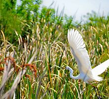 A great Egret by Coyotee