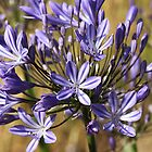 flower-agapanthus-blue by Joy Watson