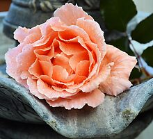 Apricot Rose in Full Beauty by GrannyMay