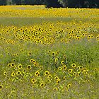 Sunflowers by David Perrin