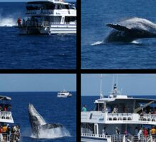 Humpback Whale Breaching next to boat Sticker
