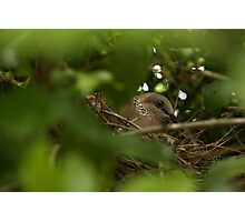 Nesting Pigeon Photographic Print