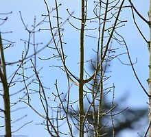 winter tree trunk and branches in blue sky by naturematters