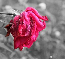 Black And Pink - A Rose Is Dying by Harald Ole Hansen