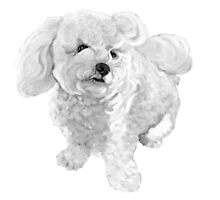 "A beautiful Bichon named ""Coconut"" ~ Black and white by Jane Oriel"