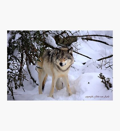Canadian wildlife: Timber Wolf Photographic Print