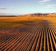 Autumn Vineyards by Robyn Carter