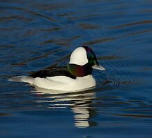 Gorgeous Bufflehead Lake Atlanta, Rogers, Arkansas by NatureGreeting Cards ©ccwri